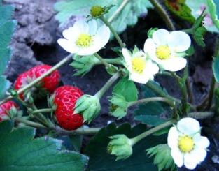 Come coltivare le fragole in vaso consigli per farle for Pianta di fragole
