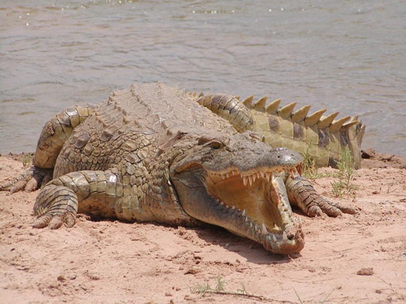 Alcuni marchi di moda investono in allevamenti di coccodrilli