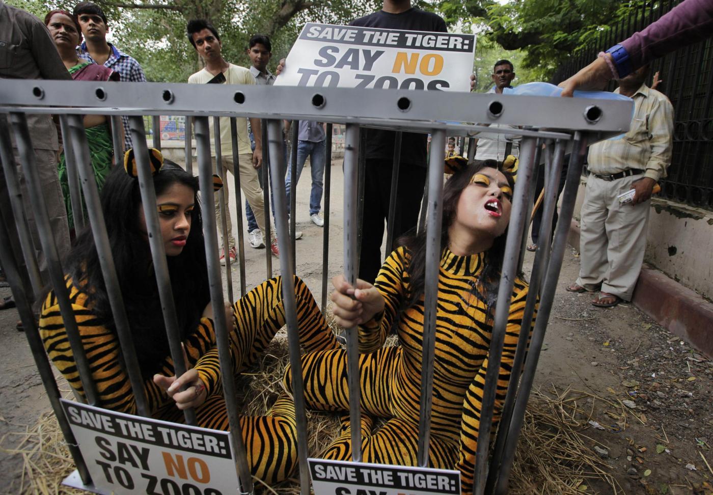 Rinchiuse in gabbia: protesta per la morte delle tigri in uno zoo (FOTO)