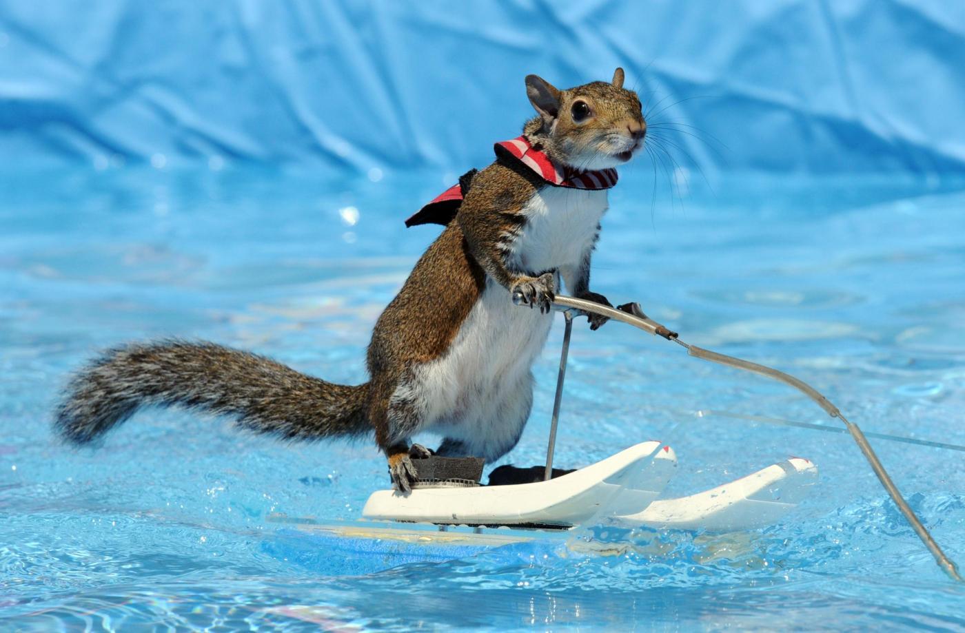 Twiggy lo scoiattolo campione di sci d'acqua (FOTO)