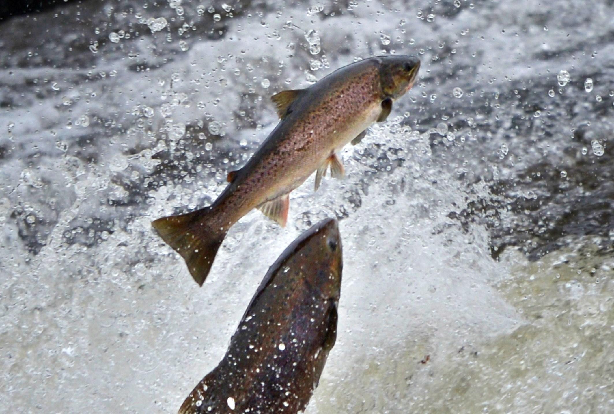 Matrimonio nel fiume: due salmoni portano le fedi all'altare