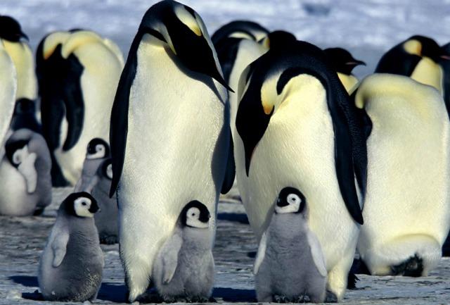 """""""Contati dallo spazio"""" i pinguini imperatore sono di più del previsto"""