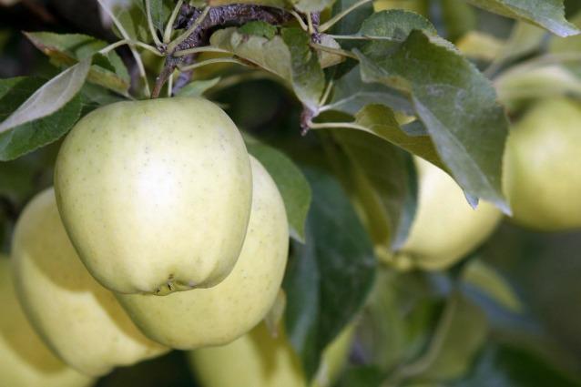 La mela geneticamente modificata che non diventa marrone (e che preoccupa qualcuno)