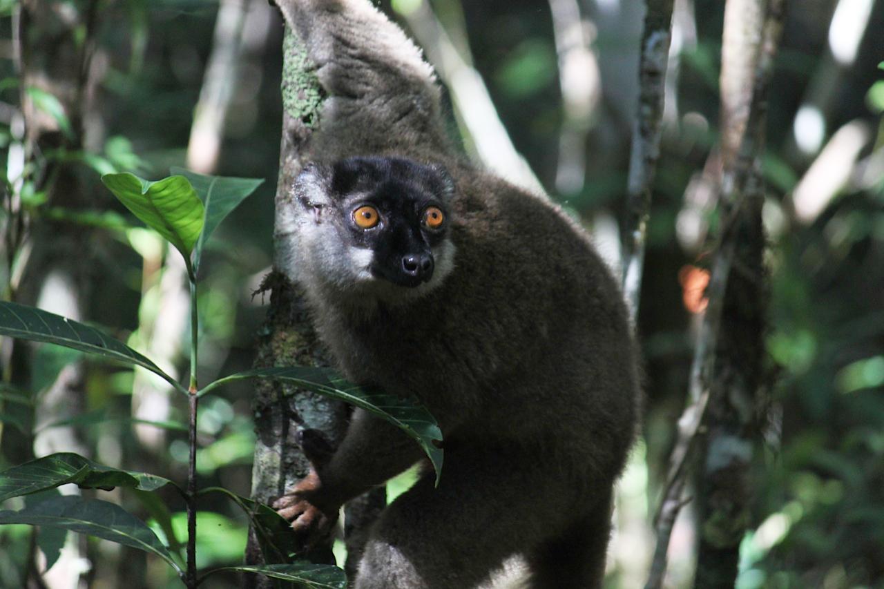 Lemuri, accerchiati da caccia e deforestazione