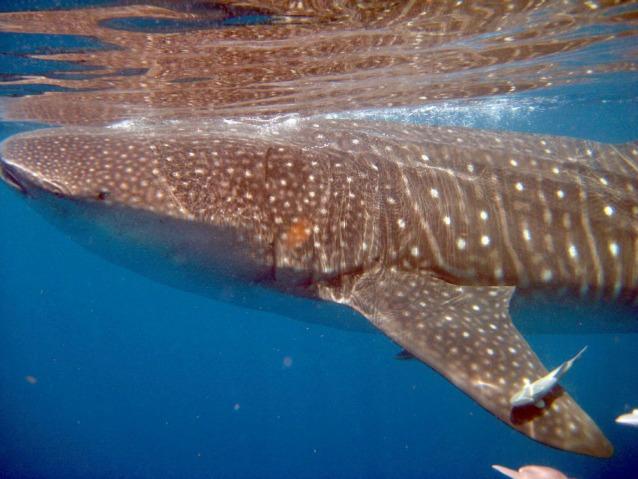 Pranzo con furto per lo squalo balena