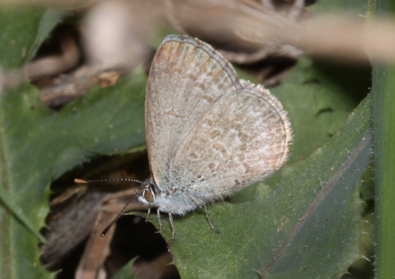Le farfalle di Fukushima mutate dalle radiazioni