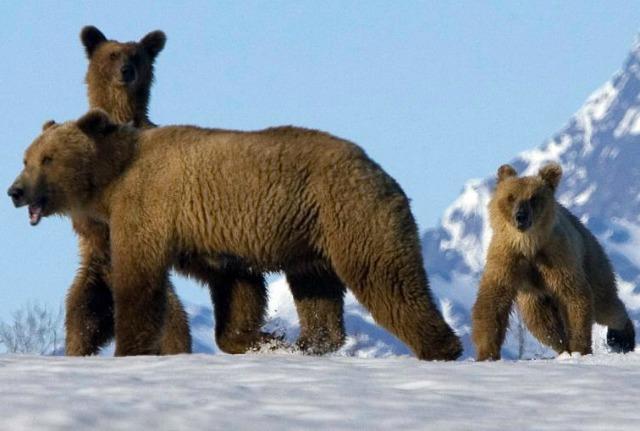 Undici nuovi cuccioli tra gli orsi dell'Abruzzo