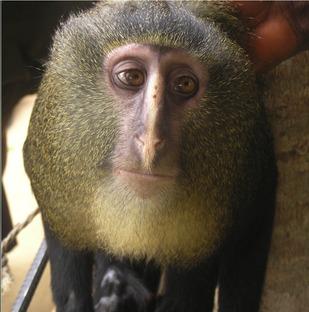 Lesula, la nuova scimmia del Congo