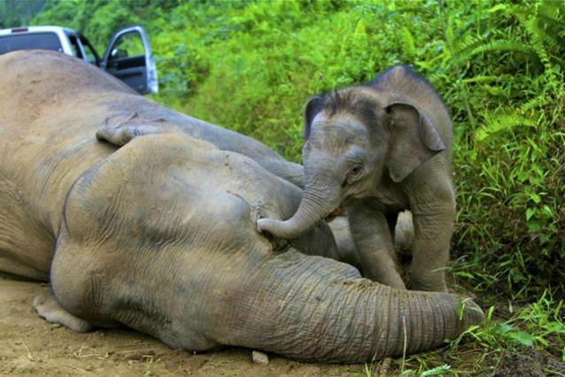 Elefanti pigmei uccisi in Borneo