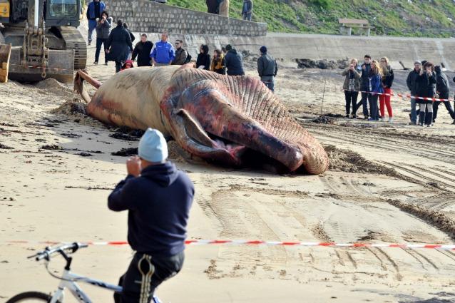 Balena trovata morta sulle coste francesi (video)