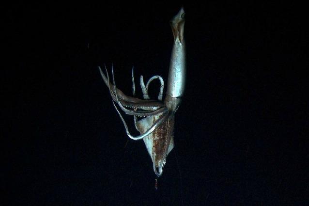 Il calamaro gigante ripreso negli abissi del Pacifico