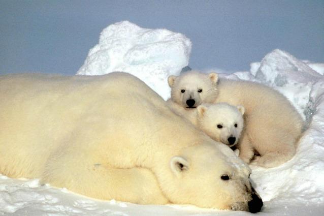 Per gli orsi polari in Alaska non c'è posto?