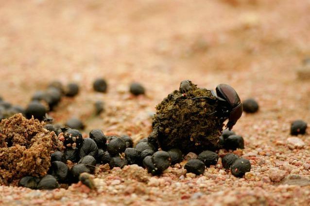 Lo scarabeo segue la Via Lattea per trovare la strada
