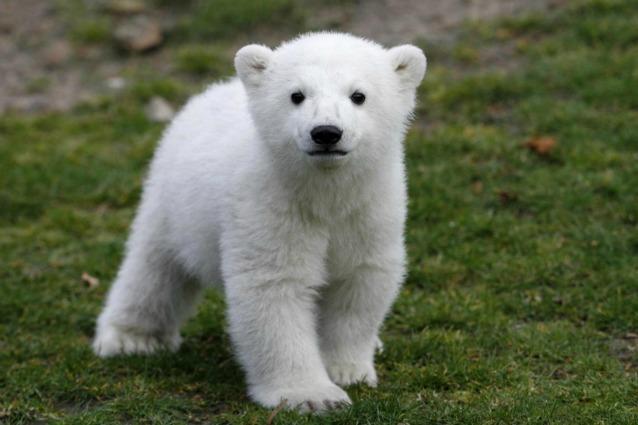 Una statua per Knut con la sua vera pelliccia