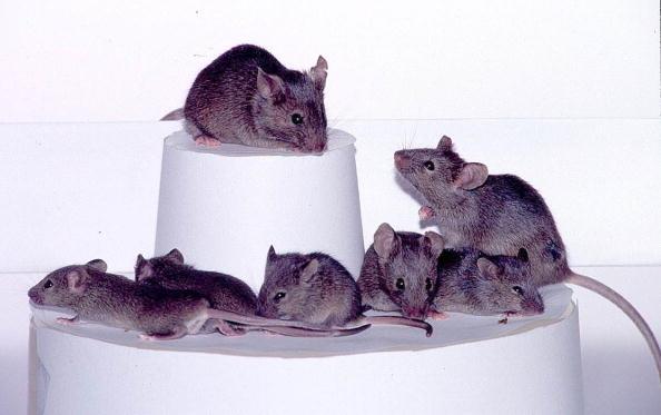 """Clonate 26 generazioni di topi: """"Sono tutti sani"""""""