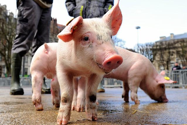 Pig 26, il maialino clonato con l'editing genetico