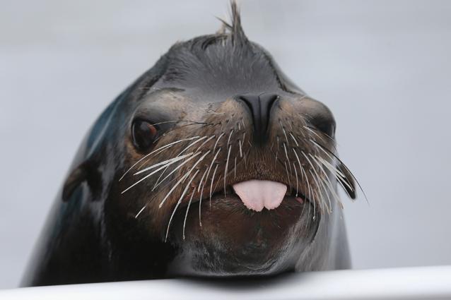 Avvistata foca a Venezia, segnalazione attendibile