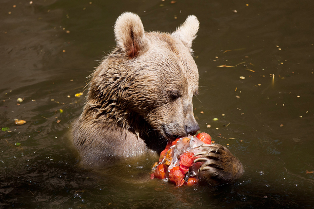 Tentato sterminio degli orsi in Abruzzo. Caccia ai responsabili