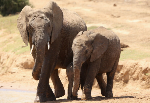 Le bombe atomiche salveranno gli elefanti