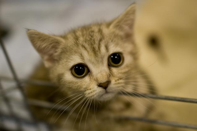 Allergia al pelo del gatto, verso la sperimentazione clinica della cura