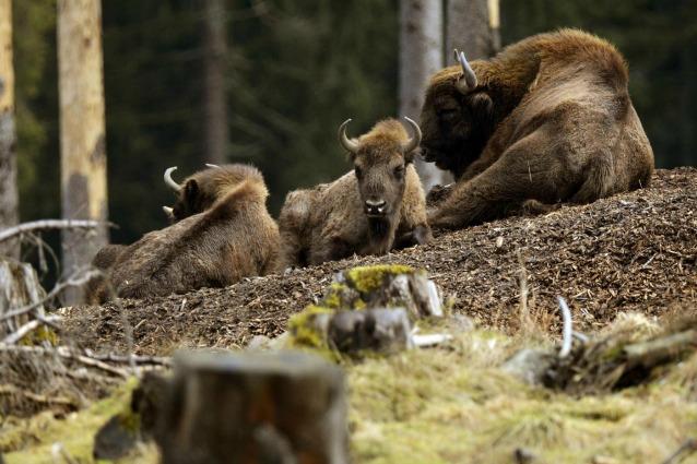 La fauna selvatica sta tornando in Europa