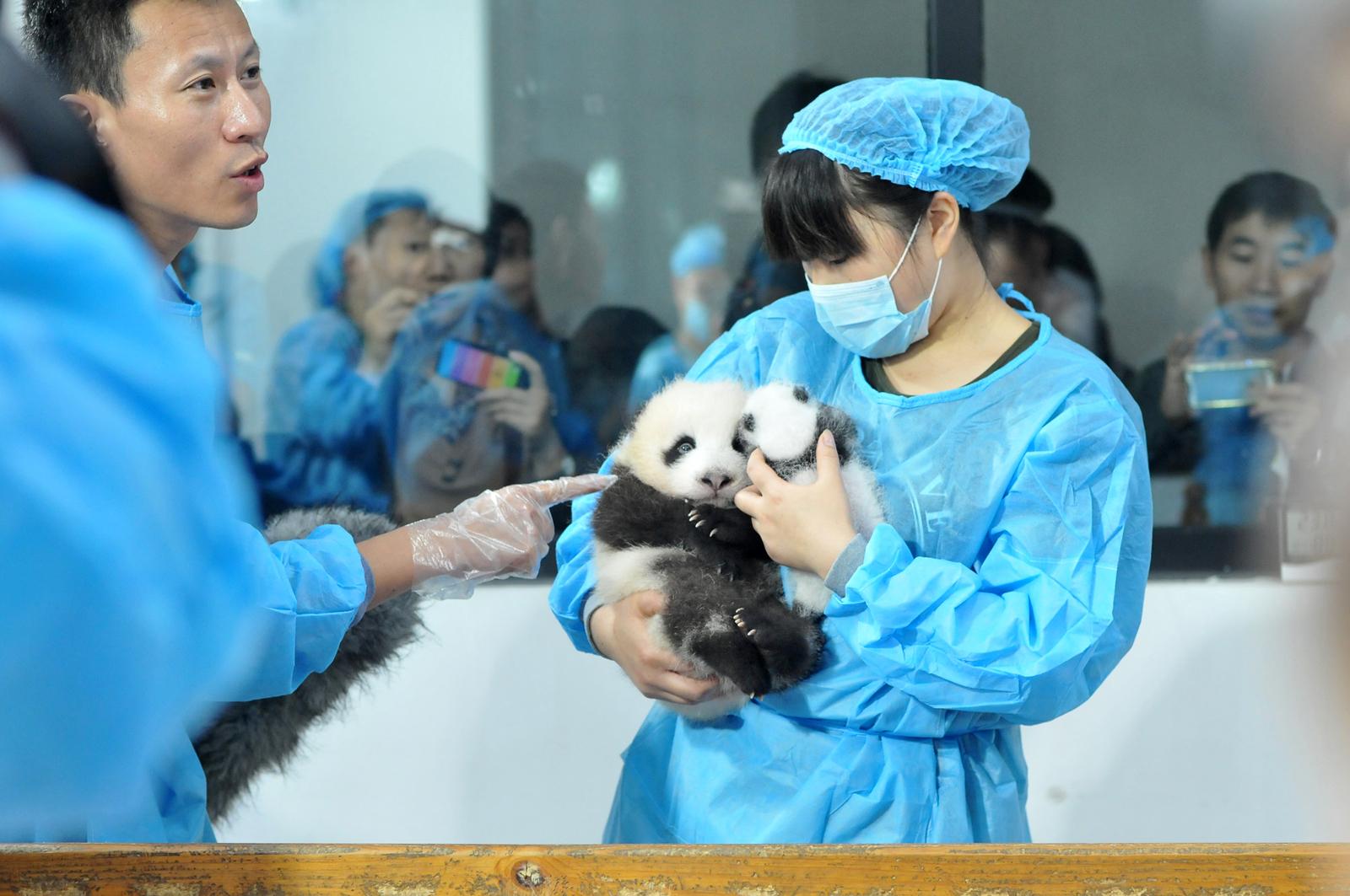 Cina, 17 panda neonati contro il rischio di estinzione (FOTO)