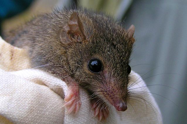 Il marsupiale che si uccide di sesso per la sopravvivenza della specie