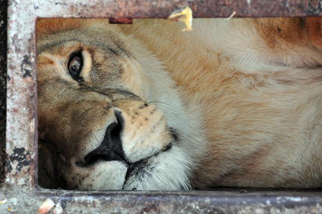 La leonessa morta di anoressia per la perdita dell'amico