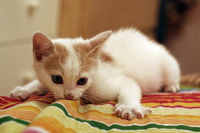 Asmatici sempre più allergici al pelo del gatto