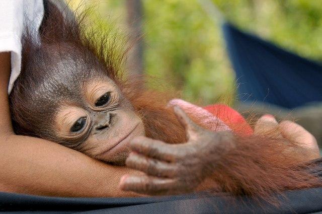 Il piccolo orango e la disperazione per le dita amputate (FOTO)