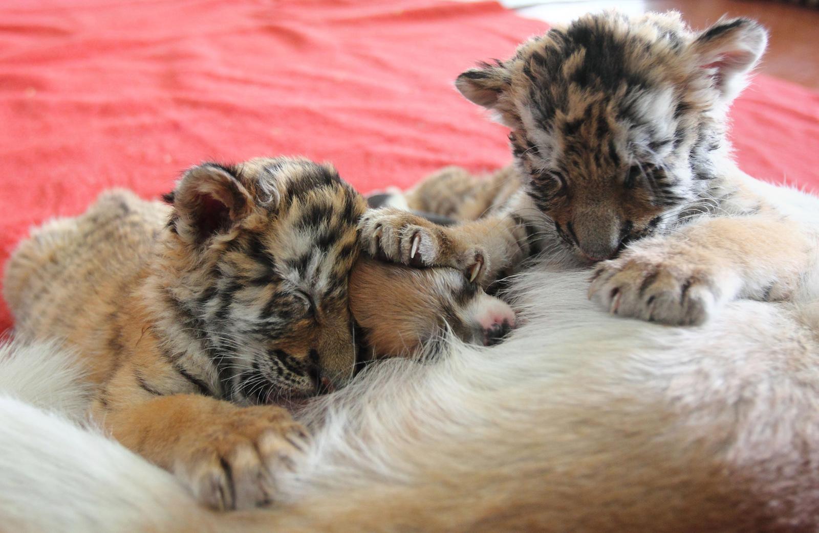 La dolce storia del cane che allatta le due tigri rifiutate dalla madre (FOTO)