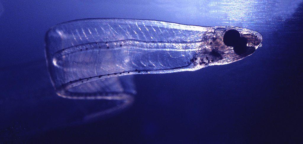 Pescato il pesce completamente trasparente (FOTO)