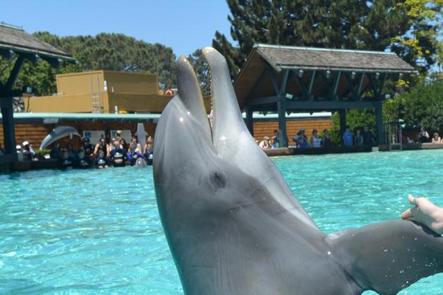 I delfini che sniffano i gas del pesce palla per sballarsi