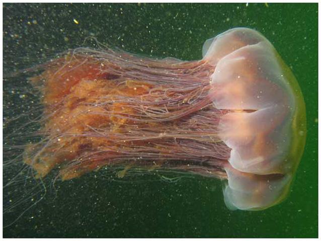 Medusa gigante sulle coste della Tasmania (FOTO)