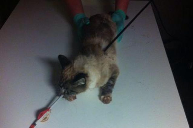 L'incredibile salvataggio del gatto trafitto da una freccia (FOTO)