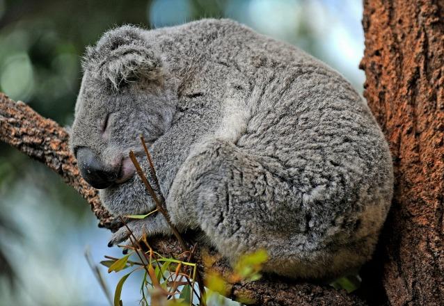 Il segreto per stare freschi? Ce lo svela il koala
