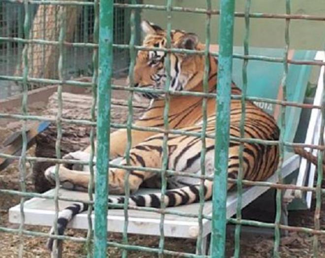 Angela, la tigre portata in Italia da un pregiudicato, sta per trovare casa
