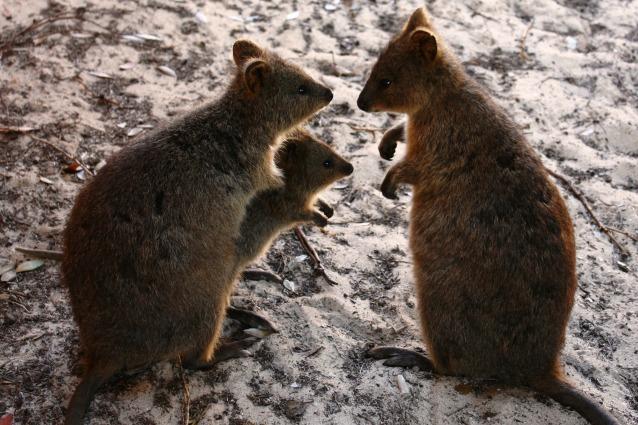 """L'animale """"più felice del mondo"""" rischia l'estinzione"""