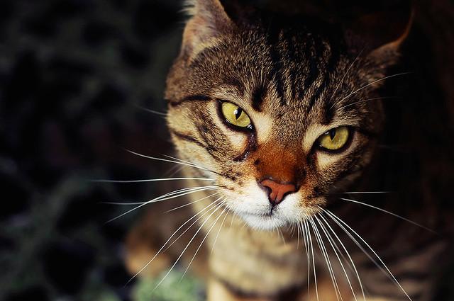 Le 5 razze di gatti più costose al mondo