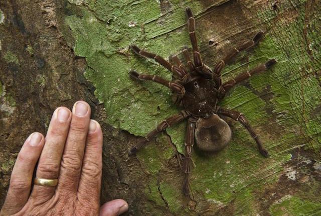 Sud America, scienziato scopre un ragno grande come un cucciolo di cane