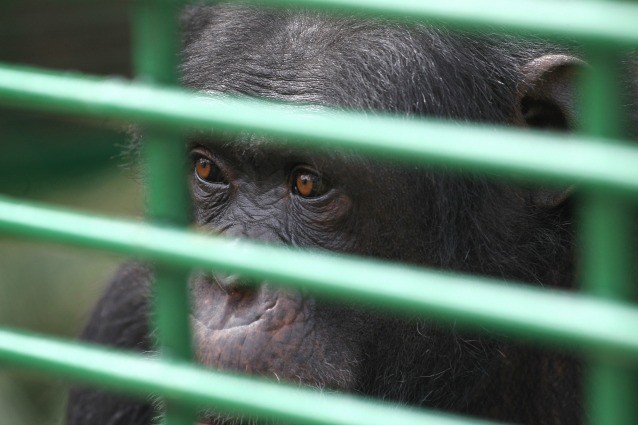 Lo scimpanzé Tommy ha una personalità giuridica?