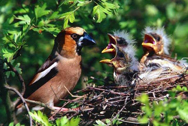 I pulcini non riescono più a sentire i richiami delle loro madri a causa del suono dei droni
