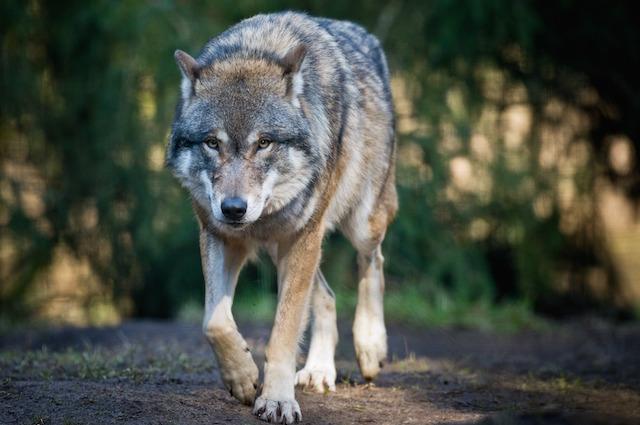 Chi è il lupo? Da Roma a Cappuccetto Rosso, il canide di cui tutti hanno paura