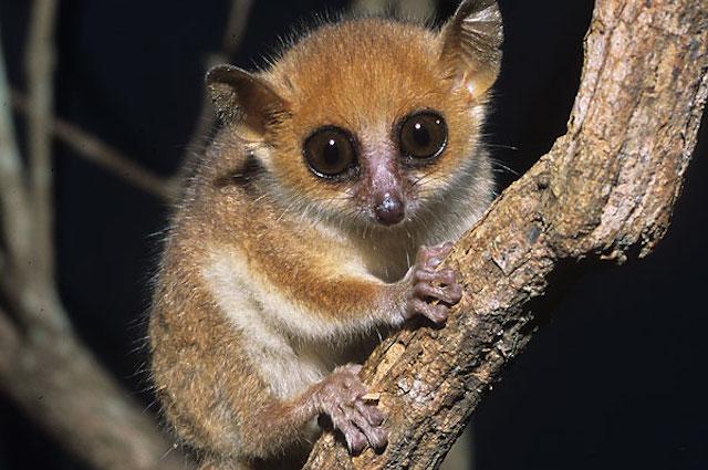 Femmine di lemure fanno sesso con più maschi per salvare i figli