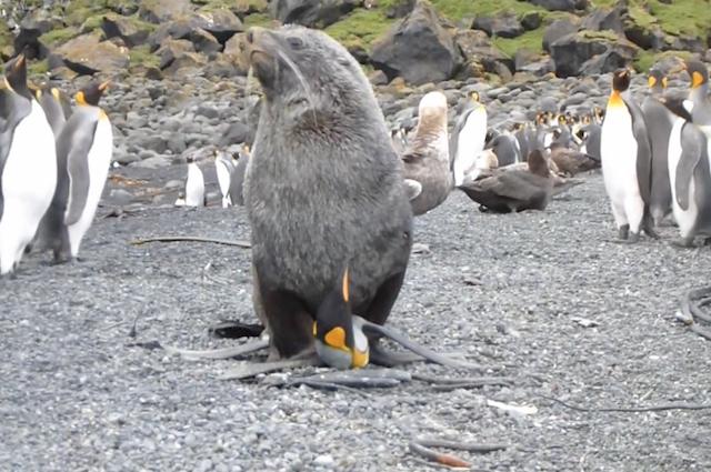 Pinguini abusati dalle otarie: da prede a vittime sessuali