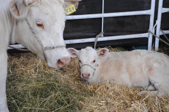 OGM o OMG? Nasce Rosita, la mucca che produce latte simil-umano
