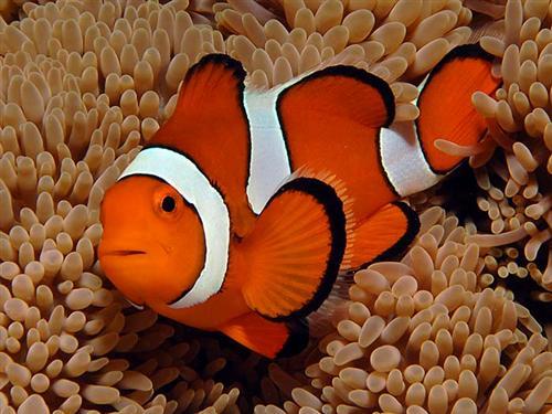Nemo potrebbe estinguersi: il global warming minaccia il pesce pagliaccio