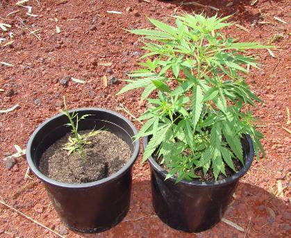 La marijuana si può coltivare in giardino. Lo dice la Cassazione