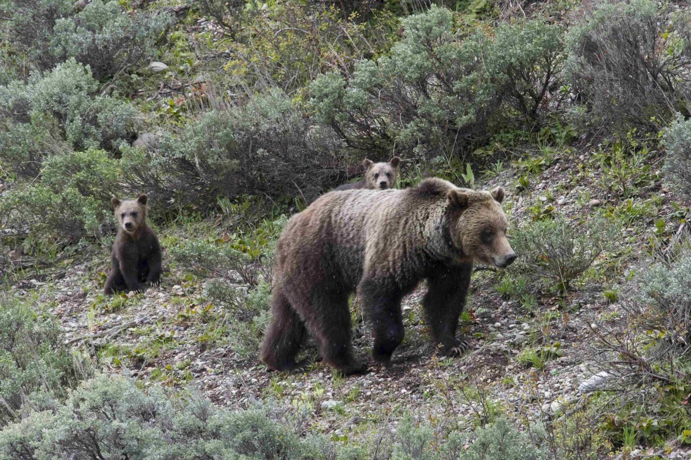 Menu a base di orso bruno: la Lega festeggia così in Trentino