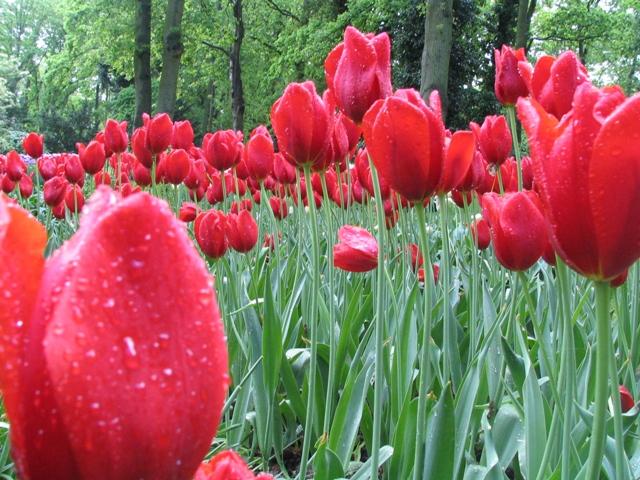 I tulipani come simbolo della nuova Guerra dei Fiori tra Romania e Olanda per l'ingresso nell'area Schengen